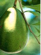Фрукто-овощ авокадо на косметической кухне