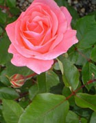 Роза...