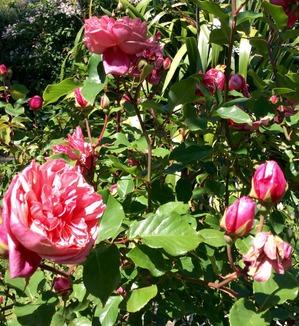 слова песни розы тёмно алые: