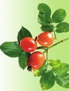 Шиповник – кладезь витаминов