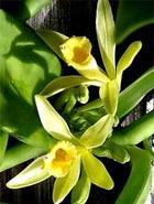Родственница орхидей... ваниль