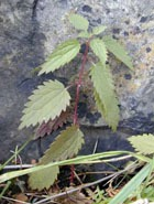 Жгучая крапивушка, или о лекарственной пользе крапивы