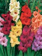 Гладиолусы – цветы не только для торжества