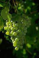 Виноградная лоза – подарок небес
