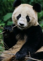 Глазки панды