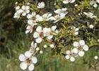 Австралийское сокровище - масло чайного дерева