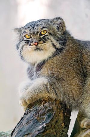 Манул- невероятно красивая порода кошек!