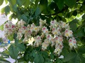 вот так в этом году, цветёт каштан!