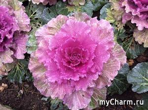 Ornamental Cabbage и пень размером с обеденный стол
