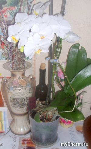 Моя орхидея цветет!!!