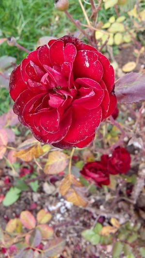 Ноябрьские розы