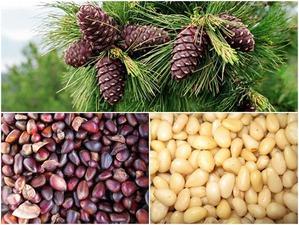 Рецепты лечебных настоек на кедровых орехах.
