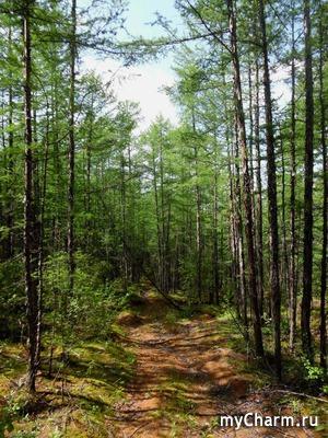 В лес, за маслятами. И не только