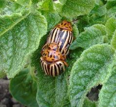 Колорадский жук или шик?