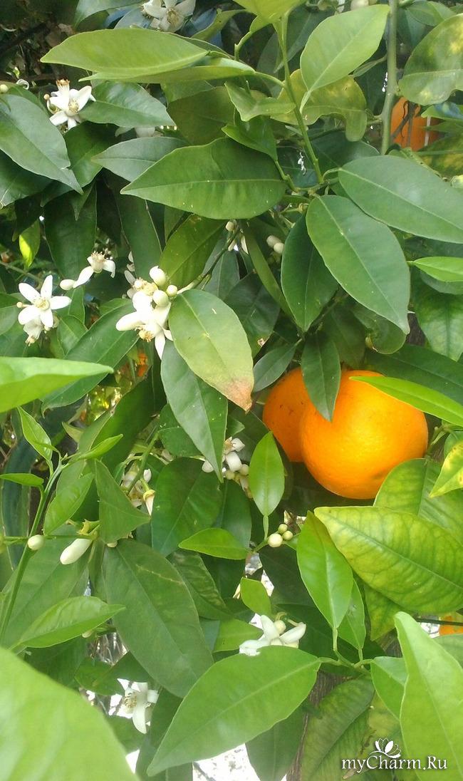 Цветение цитрусовых.
