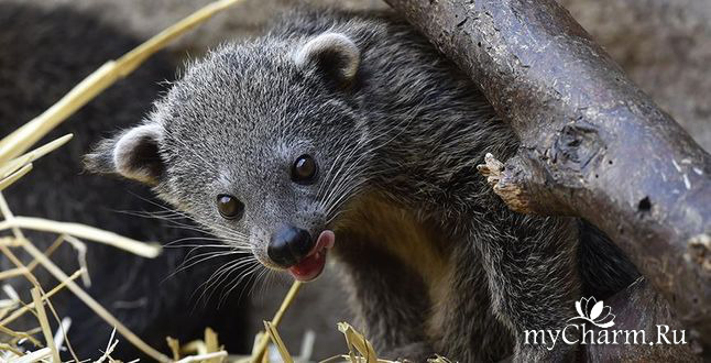 В московском зоопарке теперь живет пахнущий попкорном «кошачий медведь»