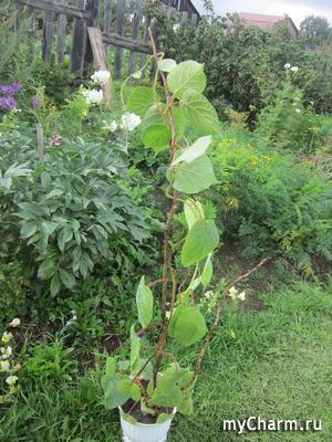 Как я выращиваю киви на Урале.