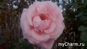 Октябрьские розы
