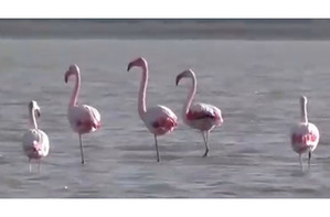 Фламинго прилетели перезимовать на северо-запад Крыма