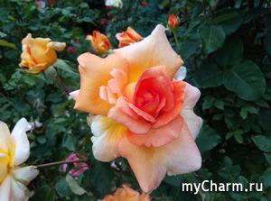 Удивительные розы