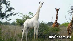 Единственный в мире белый жираф обзавелся электронной меткой